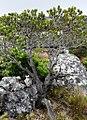 Leucospermum conocarpodendron tree - Fishhoek 1.jpg