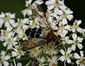 Leucozona glaucia (female) - Flickr - S. Rae (5).jpg