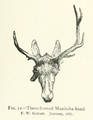 Life Histories of Northern Mammals (1909) Cervus canadensis abnormal antlers 2.png