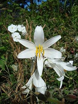 Lilium candidum