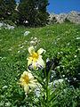 Lilium kesselringianum Caucasus2.jpg