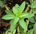 Limnophila aromatica 02.JPG