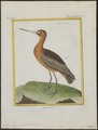 Limosa lapponica - 1700-1880 - Print - Iconographia Zoologica - Special Collections University of Amsterdam - UBA01 IZ17400019.tif