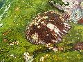 Limpet at Lorry Bay PB012112.JPG