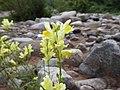 Linaria vulgaris Paludi.jpg