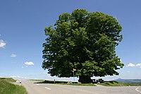 Eebenpuu panopuu