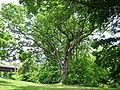 Linden Oak 2.jpg