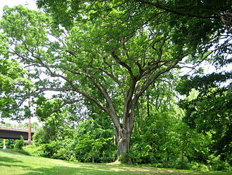 Linden Oak - Linden Oak, May 2007