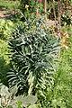 Lindlar - Freilichtmuseum - Bauerngarten - Euphorbia lathyris 01 ies.jpg