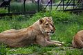 Lion at Chester Zoo.jpg