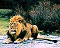 Lion in bronx zoo.jpg