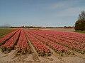 Lisse, veld met tulpen 2007-04-18 13.54.JPG