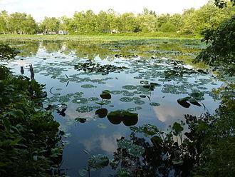Lake Lemon - American lotus off the Little Africa