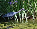 Little Blue Heron (cropped) (34623250951).jpg