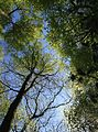 Little Hankins Copse - looking up - geograph.org.uk - 427437.jpg