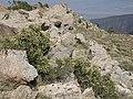 Littleleaf creambush, Holodiscus microphyllus (42404750224).jpg