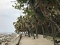 Livistona chinensis on Aoshima Island 5.jpg