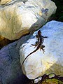 Lizard on a rock in Cedar Ridge Preserve in Texas.jpg