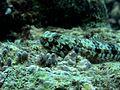 Lizardfish Agatti.jpg