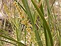 Lomandra longifolia (5097669801).jpg
