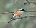 Long Tailed Shrike (2748486944).jpg