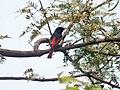 Long tailed Minivet- Bharatpur I1 IMG 8080.jpg