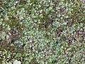 Lunularia cruciata 125975900.jpg