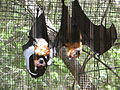 Lyles Flying Fox 1.JPG