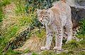 Lynx (25711846251).jpg