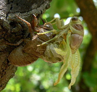 Chitin - A cicada emerges from its chitinous larval exoskeleton.