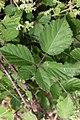 Macchiabjörnbär (Rubus ulmifolius)-2975 - Flickr - Ragnhild & Neil Crawford.jpg