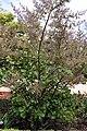 Madeira, Palheiro Gardens - Moschosma riparium (Simbabwe) IMG 2219.JPG