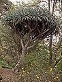 Madeira-32-Drachenbaum-2000-gje.jpg