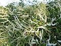 Madeira vine (3372772764).jpg