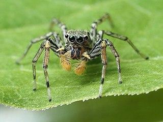 <i>Maevia inclemens</i> Species of spider