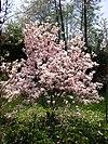 Magnolia Spring.jpg
