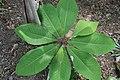 Magnolia officinalis var. biloba 0zz.jpg