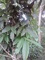 Mahagani leaf.jpg