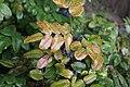 Mahonia japonica у Лондане 1.jpg