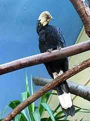 Malaienhornvogel-02