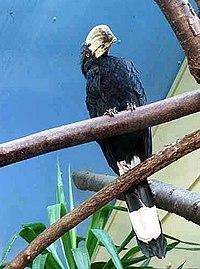 Malaienhornvogel-02.jpg