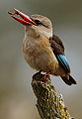 Male Brown-hooded Kingfisher, Halcyon albiventris caught a wasp, Tzaneen area, Limpopo, South Africa (14874236246).jpg