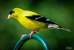 Male Gold Finch.jpg