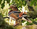 Male Mandarin Duck. (Aix galericulata) (51440748850).jpg
