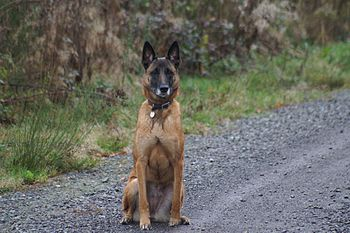 A Belgian Malinois named Tica.