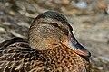 Mallard duck (Anas platyrhynchos) young adult male portrait 2.jpg