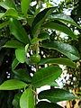 Malpighia glabra (3).JPG