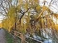 Malpighiales - Salix babylonica - 5.jpg