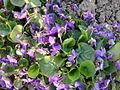 Malpighiales - Viola reichenbachiana - 2.jpg