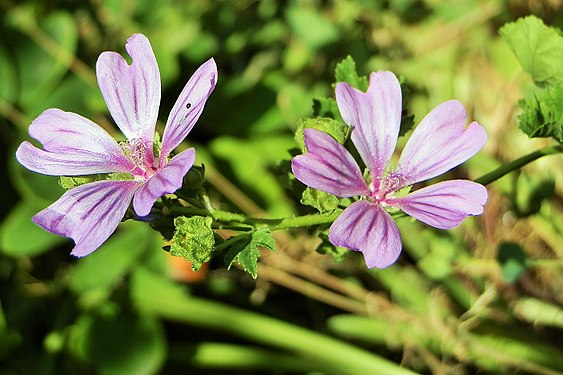 Malva sylvestris flowers in Armenia (4).jpg